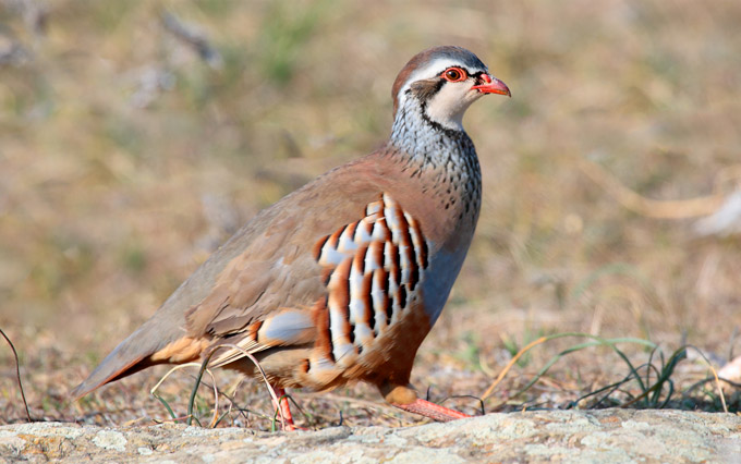 Red-Legged-Partridges_01
